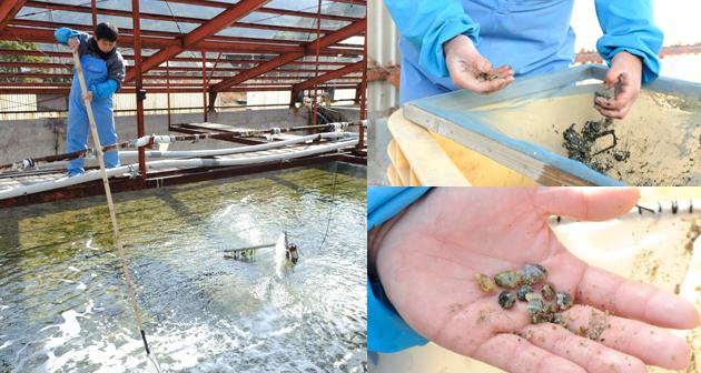 アサリ養殖の研究商業化